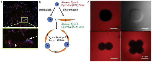 Engineering Hydrogels to Mimic the Size and Shape of the Alveolus